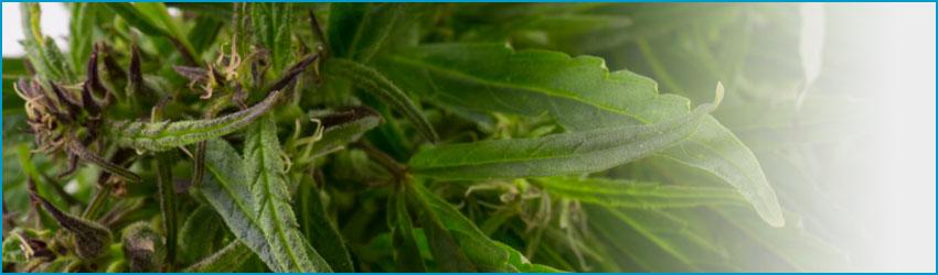 Лечение от марихуаны (гашиша)
